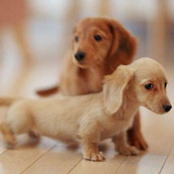 Sausage dogs are so adorable!
