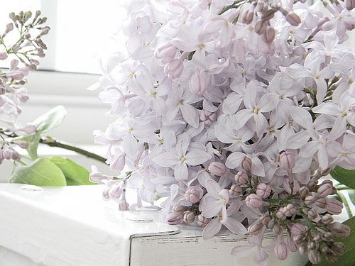lilac: Beautiful Flower, Lilacs Lights, Lucious Lilacs, Beautiful Bloom, Lilacs Lov, Dreamy Lilacs, Lilacs Color, Aaa Lilacs, Lilacs Bi