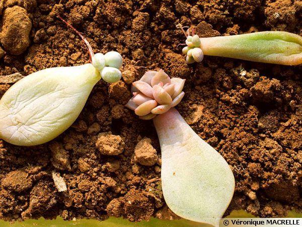 Le bouturage des plantes succulentes