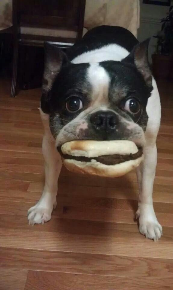 Boston Terrier busted stealing sandwich. I guess that's better than 1 1/2-2 dozen sugar cookies!