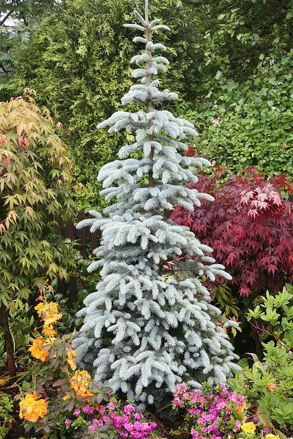 The new leaves of this Picea pungens cultivar are less blue and more silver coloured.    Other cultivars of Picea pungens which are all very similar, are 'Hoopsii', 'Thompson', 'Hoto' and 'Kosteri'. The cultivar in this photos is Picea pungens 'Thompson'.
