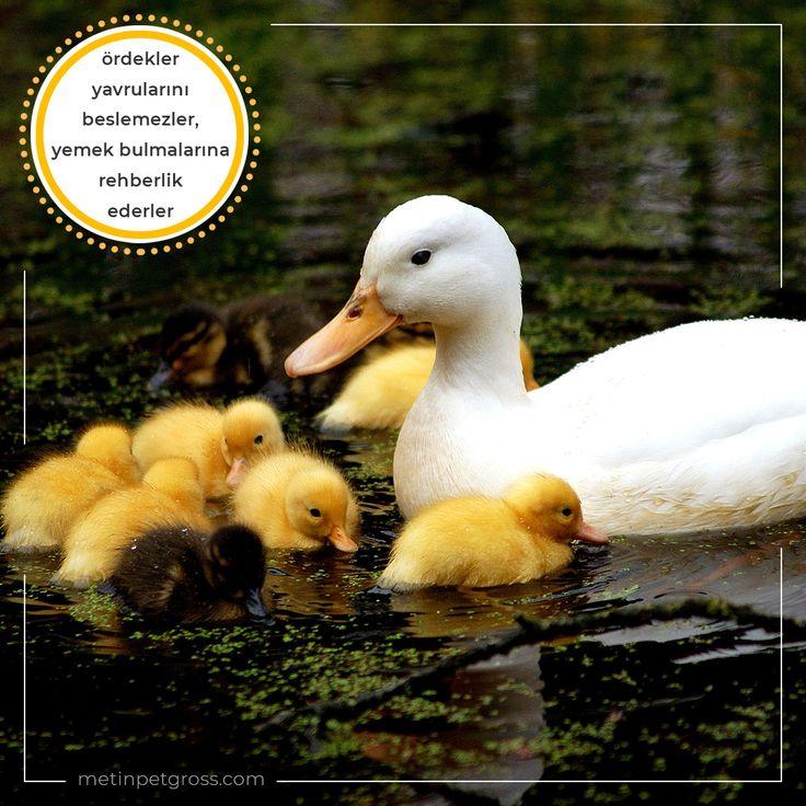 Ördekler yavrularını beslemezler, yemek bulmaları için onlara rehberlik ederler…    #ördek #duck #animallover #animal #instagood #hayvansevgisi #instalike #prilaga #Turkey #ilginçbilgiler #doğa #nature