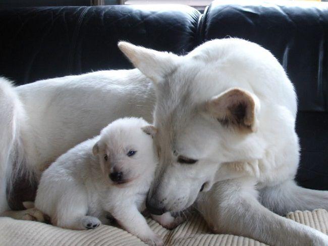 Newborn white german shepherd puppies