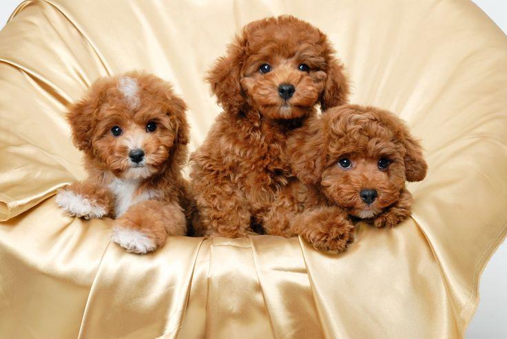 HD Cute Puppies Wallpaper | Download Free - 104897