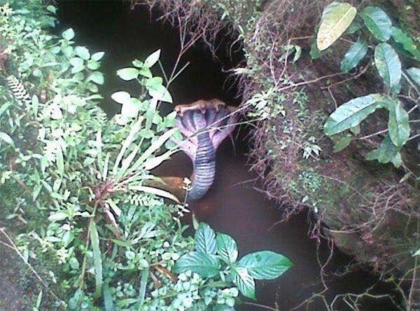 Cobra Drain Snake