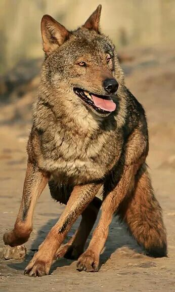 European wolf on the run.The European wolf (Canis lupus lupus) was the first identified subspecies of the Gray wolf.
