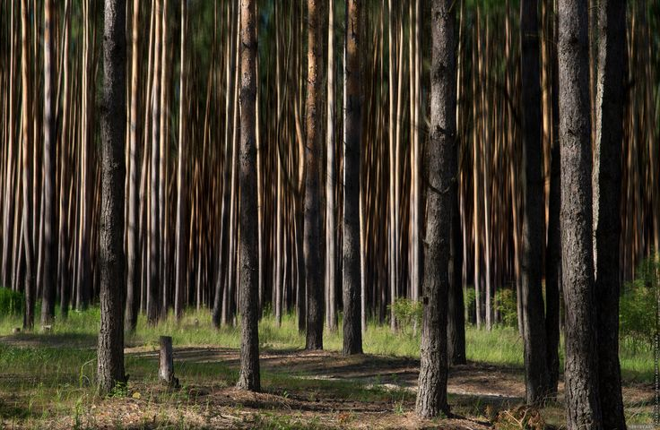 Pine forest. - Pine forest.