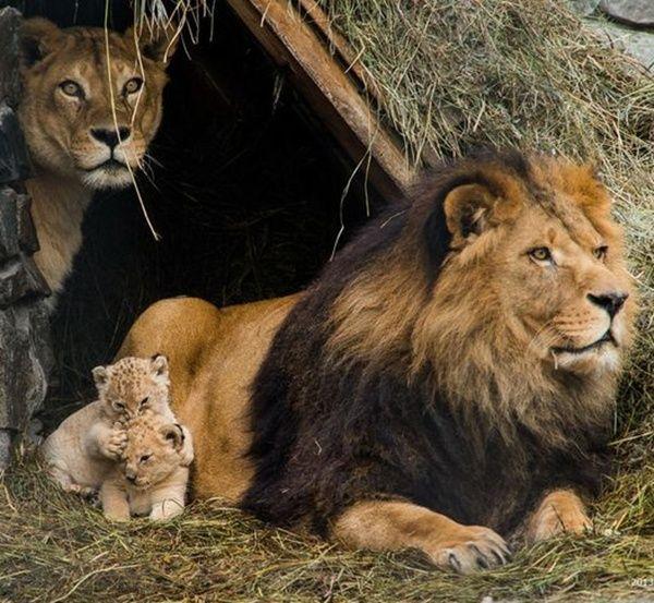 Leões brincam com filhotes em zoológico na Rússia