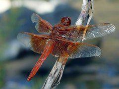 Dragonflies & Damselflies of Southern California