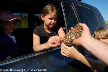 These young people are getting a hands on introduction to one of #Australia's favourite, and most iconic, #lizards - the #Shingleback