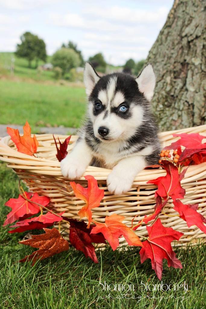 Aiden Male Aca Siberian Husky Full Price 775 00 Deposit