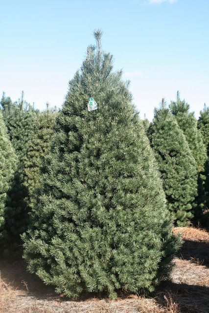 Scotch pine christmas tree species pinterest trees for Mature pine trees