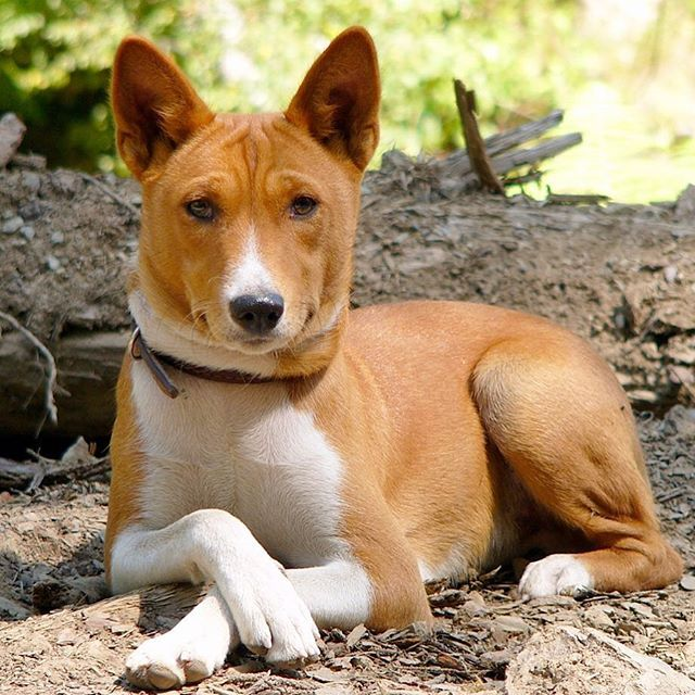 Quiet please, Basenji in deep thought