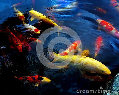 Blue waters with colorful swimming coy fish.