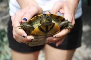 Freshwater turtles from wetlands can transmit Salmonella to humans