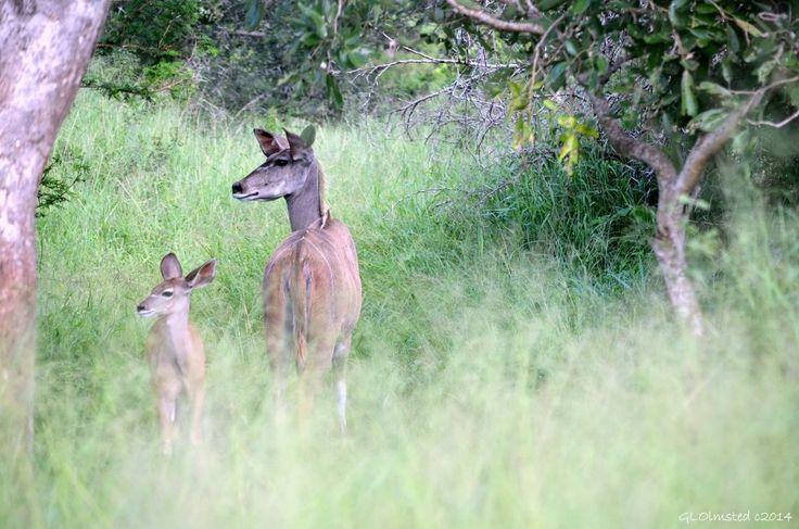 Kudus at Kruger National Park South Africa http://geogypsytraveler.com/2014/06/27/foto-friday-fun-65/