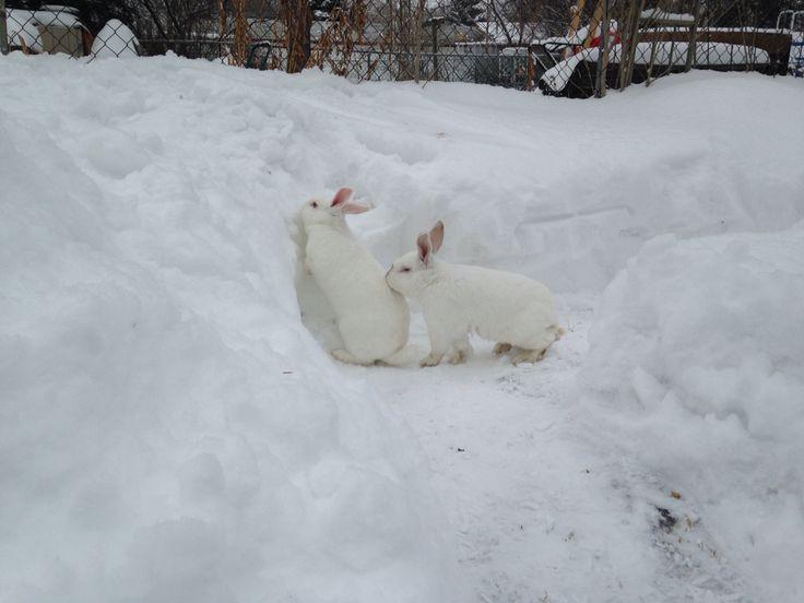 Winter bunnies Bobbie & Stewie  NZ white rabbits