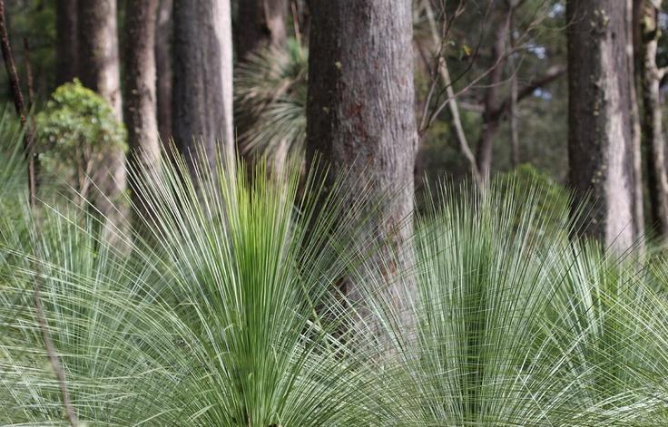 spear grass on the Australian rainforest floor