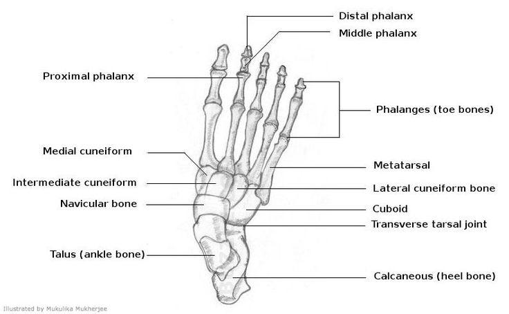 15 best anatomy images on pinterest