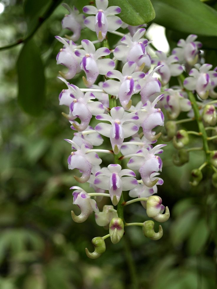 Inflorescência da orquídea Aerides odoratum   Wertheim, fotografada no Conservatório da Universidade Internacional da Flórida, em Miami, estado da Flórida, USA. Esta orquídea é apropriadamente chamada - as flores são muito perfumadas com um aroma muito apreciado. Um exemplar de Aerides odoratum está vivendo desde 1792. Fotografia: Scott Zona.