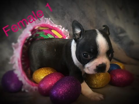 Litter Of 7 Boston Terrier Puppies For Sale In Cave City Ky Adn