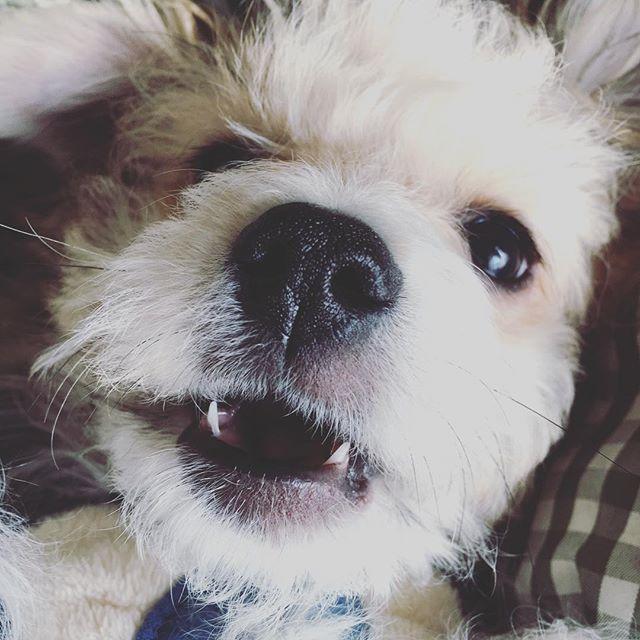 ガウガウ  どうしたら噛むのをやめてくますかぁ~⁽⁽◝(๑꒪່౪̮꒪່๑)◜⁾⁾≡₍₍◞(๑꒪່౪̮꒪່๑)◟₎₎ #ビションフリーゼミックス  #チワワミックス  #ミックス犬 #ハーフ  #チワワ#ビションフリーゼ #小型犬 #犬 #犬のいる暮らし #いぬ #dog #愛犬 #chihuahua #bichonfrise #mix