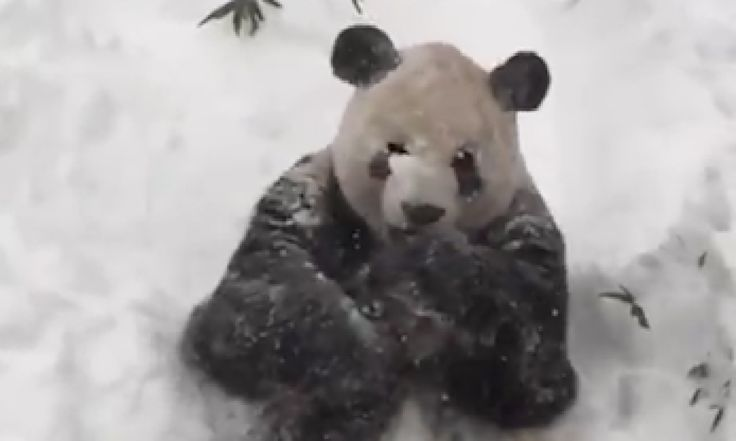 Video from the Smithsonian's National Zoo (also known as the National Zoological Park) shows Tian Tian the giant panda enjoying the new layer of snow in his Giant Panda Habitat
