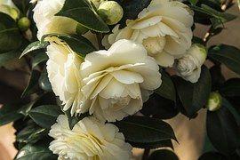 Nature, Flower, Roses, Plant, Blossom