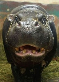 The Red Sweat of Hippos by Yoko Saikawa et al.: Within a few minutes of perspiration, the colourless, viscous sweat of the hippopotamus gradually turns red, and then brown as the pigment polymerizes and may act as both an antibiotic and sunscreen. #Hippo #Sweat #Yoko_Saikawa #wild #animals