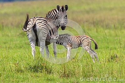 Zebra female feeds its young calf colt while looking alert for predators.