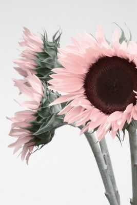 Light pink sunflower heads