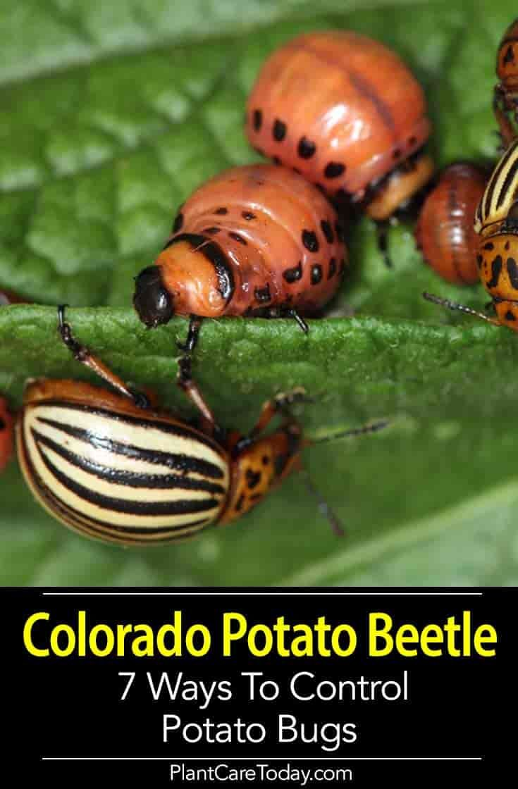 how to get rid of potato bugs