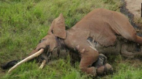 Kenya: Unul dintre cei mai bătrâni elefanți din Africa, UCIS de braconieri