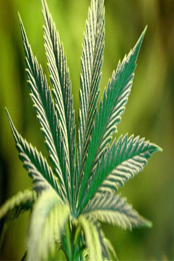 marijuana myths adverse effects of cannabis