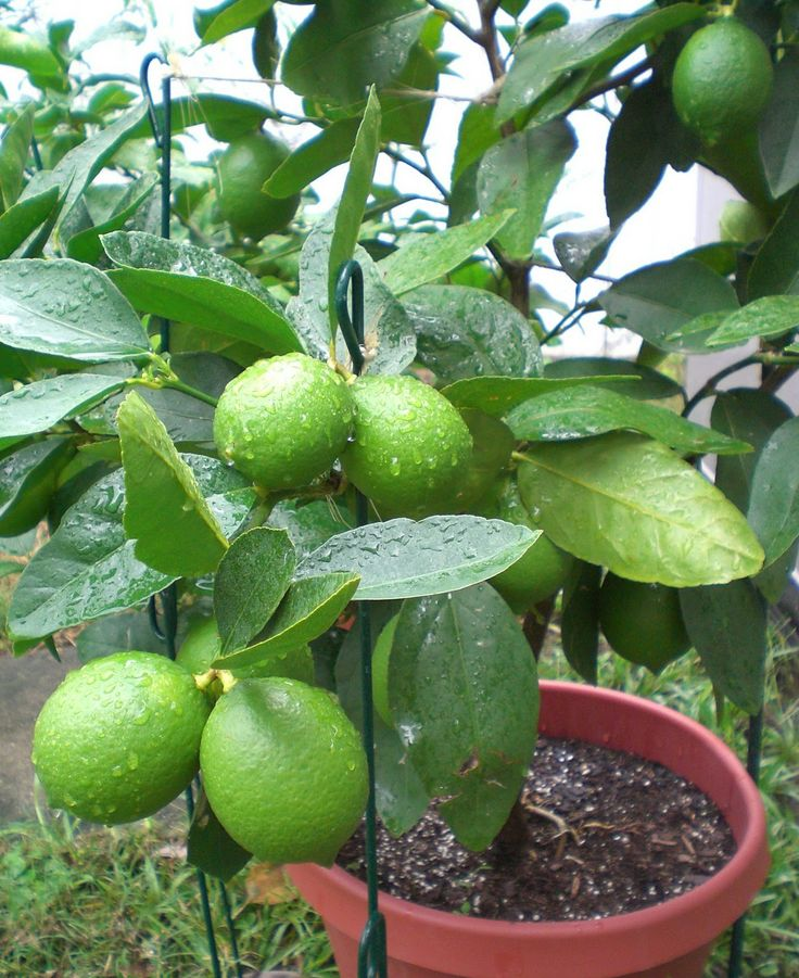 1000 Ideas About Lime Trees On Pinterest Indoor Fruit