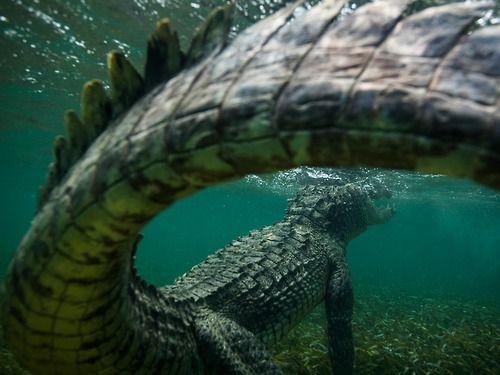 saltwater #crocodile #reptile