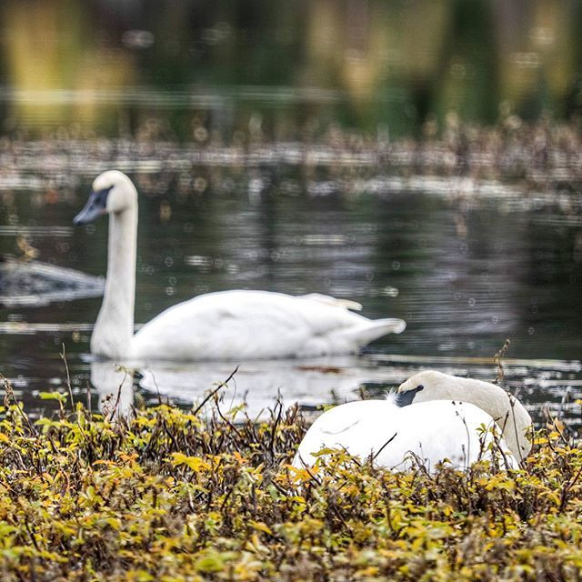 """I imagine he's thinking """"just 5 more minutes babe."""" Did you know trumpeter swans mate for life? #alaska #sometimesiwander #wildlife"""
