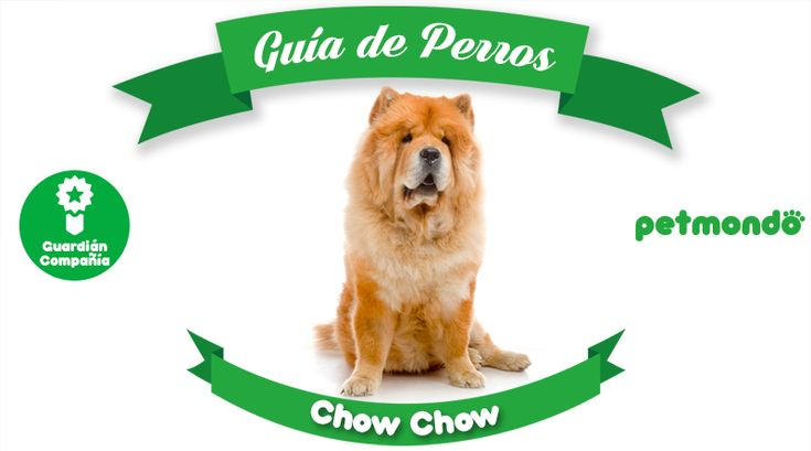 El perro Chow Chow: interesante perro chino lleno de gracia y belleza.