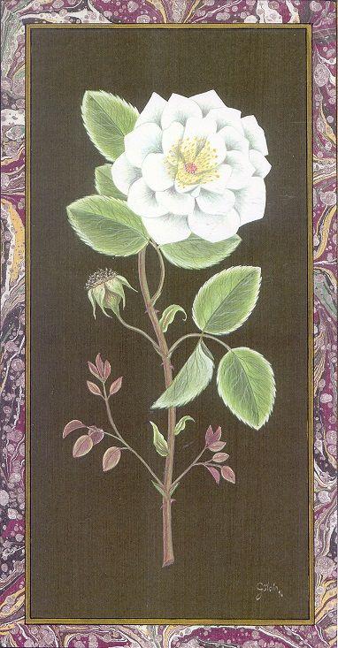 """White Rose"" by Gulcin Anmac."