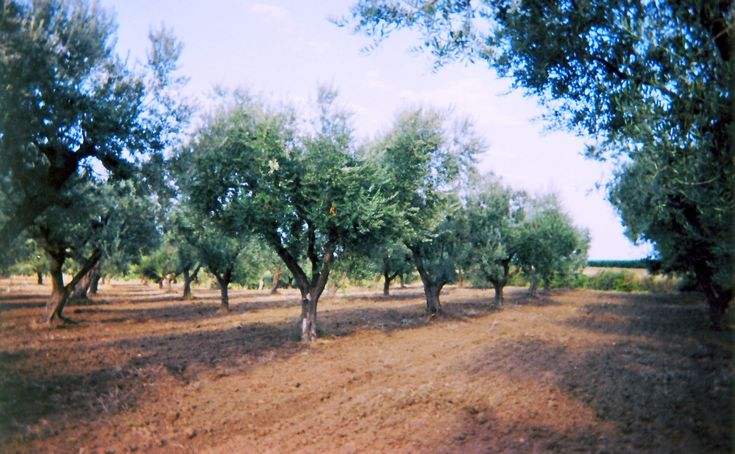 Zimarino philosophy is based on the great respect of the territory in which it operates, because it is only through knowledge of each cultivar that you will get excellent quality oils and capable of expressing in the glass the organoleptic characteristics of the terroir from which they come.