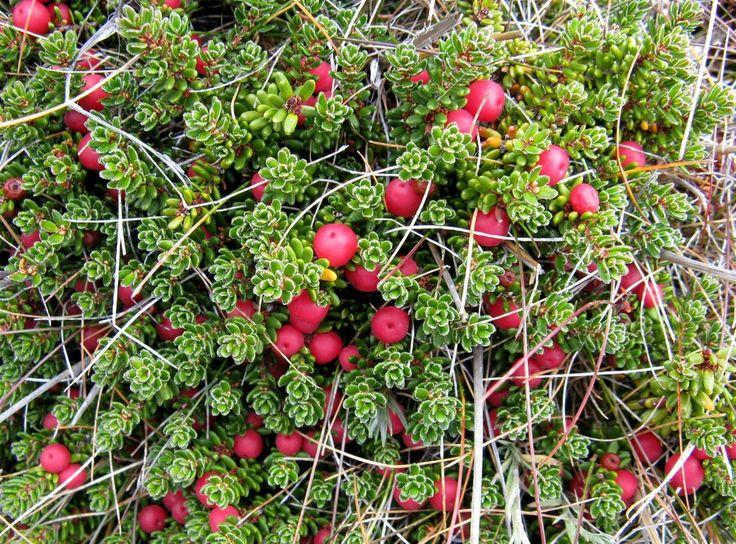Vegetación (murtilla? Empetrum rubrum?) - Parque Nacional Pali Aike, XII Región, Chile.