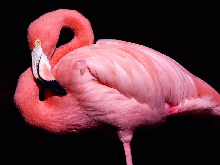 Cute Animals Image, Flamingo Posing, Pink to Red Fur, Good-Looking and Impressive 1600X1200 free wallpaper download