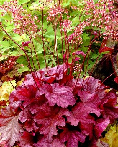 Heuchera Berry smoothie - Une nouvelle introduction très intéressante pour sa grande vigueur et sa magnifique couleur rose inhabituelle chez les Heuchera Grande feuille persistante comparable à celle de Heuchera Brownie. Floraison blanche