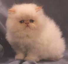 gatos persa bebe - Pesquisa Google