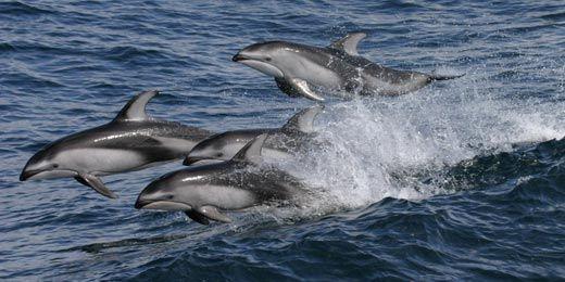 Pacific white-sided dolphin: Wild Animal, White Sid Dolphins, Awesome Animal, Side Dolphins, Whitesides Dolphins, Dolphins Wild, Pacific Whitesides, Bays Aquarium, Pacific White Sid