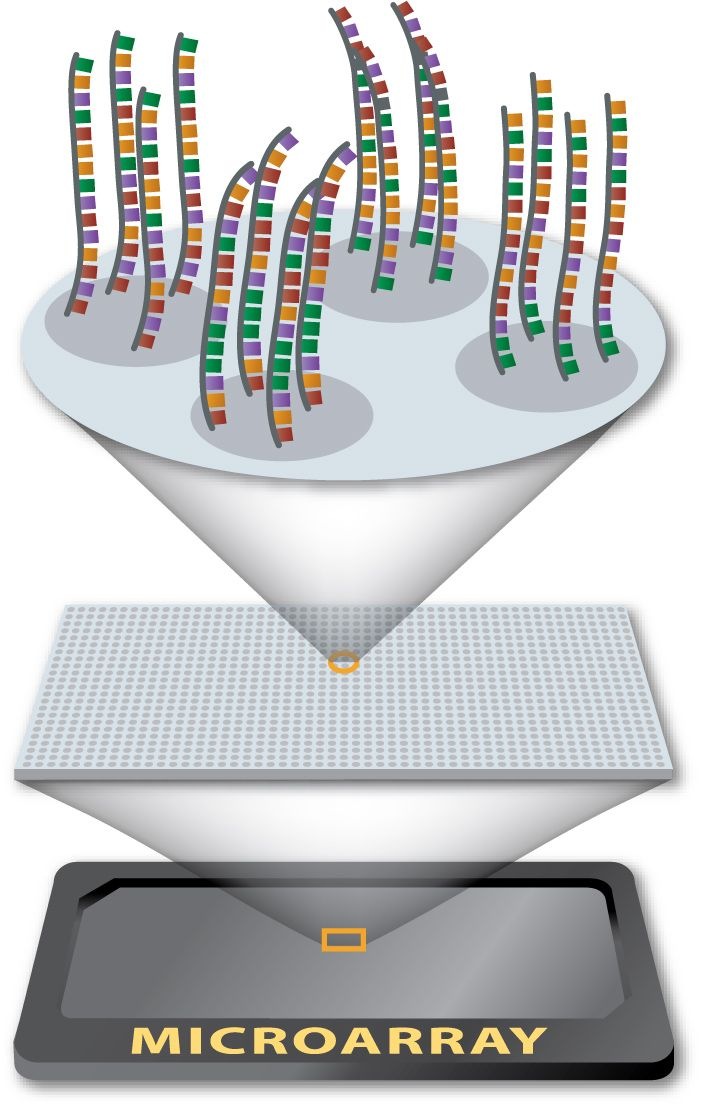 DNA microarray virtual experiment to investigate the difference between a healthy cell and a cancerous cell