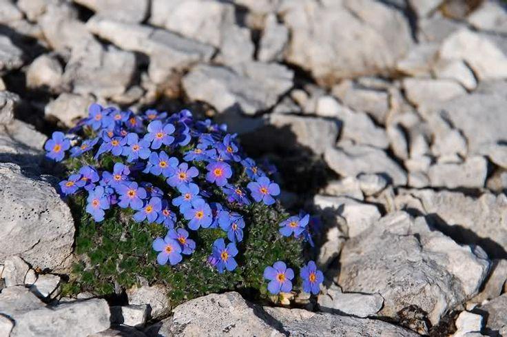 #blu #blue #blueisthewarmestcolour #flower #flowers #fiore #fiori #green #green #peace #tranquillity #bokeh #nature #natura #garden #gardening #giardino #giardinaggio #rocks #roccia #montagna #mountains