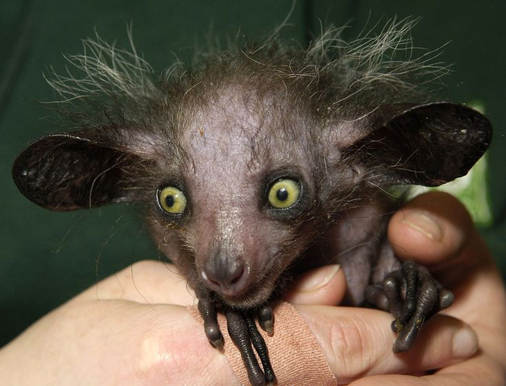 Aye-Aye is a lemur, a strepsirrhine primate native to Madagascar that combines rodent-like teeth and a special thin middle finger to fill the same ecological niche as a woodpecker.