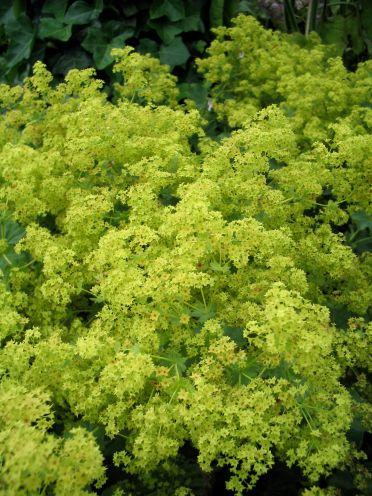 Alchemilla mollis - fraaie vrouwenmantel