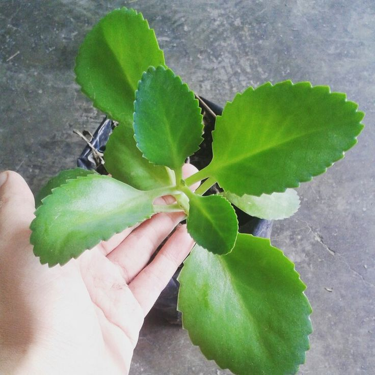#katakataka may sound like a tongue-twister, but the leaves of this #plant can help ease itch from mosquito bites, rashes because of skin allergies and even help speed up the #healing of sprains. ♡  Just clean the leaves with soap and crush it at the  area where it is needed.  Price starts at Php50.  Visit www.herbalandherbs.com for more info.  #gardening #plantsforsale #firstaid  #homeremedy #natural #organic #health #naturalremedy #allergy #naturalmedicine #skin